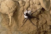 Mark Moffett - Cave Tarantula with egg sac, Mexico