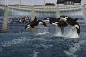 Flip Nicklin - Orca trio jumping, Sea World, San Diego, California
