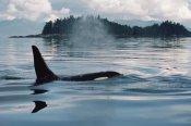 Flip Nicklin - Orca surfacing, Johnstone Strait, British Columbia, Canada