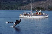 Flip Nicklin - Orca leaping before whale watchers, Johnstone Strait, Vancouver Island, Canada