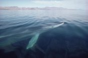 Flip Nicklin - Fin Whale surfacing, Baja California, Mexico