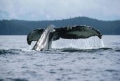 Flip Nicklin - Humpback Whale tail, Alaska