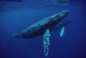 Flip Nicklin - Humpback Whale pair underwater, Hawaii