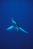 Flip Nicklin - Humpback Whale underwater portrait, Kona coast, Hawaii