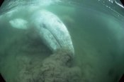 Flip Nicklin - Gray Whale filter feeding, Vancouver Island, Canada