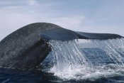 Flip Nicklin - Blue Whale tail, Sea of Cortez, Mexico