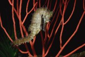 Flip Nicklin - Seahorse on coral, North America