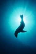 Flip Nicklin - California Sea Lion underwater, Channel Islands National Park, California