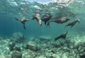 Flip Nicklin - California Sea Lions playing underwater, Isla Espiritu Santo, Baja, Mexico