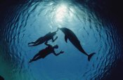 Flip Nicklin - Bottlenose Dolphin silhouetted with two swimmers, Hawaii