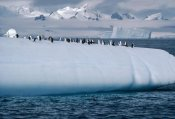 Flip Nicklin - Chinstrap Penguin group on iceberg, Palmer Peninsula, Antarctica