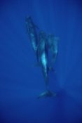 Flip Nicklin - Short-finned Pilot Whale trio underwater, Hawaii