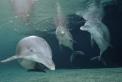 Flip Nicklin - Bottlenose Dolphin underwater trio, Hawaii, captive animal