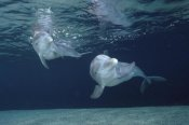Flip Nicklin - Bottlenose Dolphin underwater pair, Hawaii