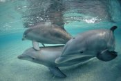 Flip Nicklin - Bottlenose Dolphin underwater trio, Hawaii