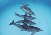 Flip Nicklin - Bottlenose Dolphin swimming with pod of Atlantic Spotted Dolphins, Bahamas