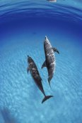 Flip Nicklin - Atlantic Spotted Dolphin, pair underwater, Bahamas