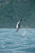 Flip Nicklin - Dusky Dolphin jumping, Kaikoura, New Zealand