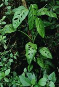Mark Moffett - Monstera vine growing at base of tree in rainforest, Panama