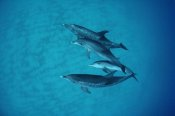 Flip Nicklin - Atlantic Spotted Dolphin underwater group of adults and juveniles, Bahamas