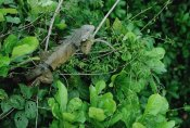 Mark Moffett - Green Iguana sunning on a branch in rainforest, Panama