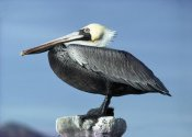 Larry Minden - Brown Pelican profile, perching, San Carlos, Mexico