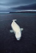 Flip Nicklin - Beluga whale stranded at low tide, Somerset Island, Nunavut, Canada