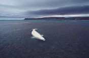 Flip Nicklin - Stranded Beluga whale awaiting incoming tide as storm approaches, Canada
