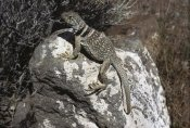 Larry Minden - Collared Lizard sunning itself on a rock, Mojave Desert, California