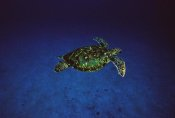 Flip Nicklin - Green Sea Turtle swimming off of Cocos Island, Costa Rica