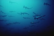 Flip Nicklin - Scalloped Hammerhead Shark school, Cocos Island, Costa Rica