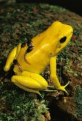 Mark Moffett - Golden Poison Dart Frog male carrying tadpoles on his back, Colombia