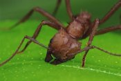 Mark Moffett - Leafcutter Ant worker cutting papaya leaf, Guadeloupe
