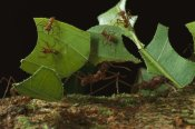 Mark Moffett - Leafcutter Ant workers carrying leaves to nest, French Guiana