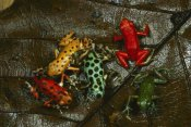 Mark Moffett - Strawberry Poison Dart Frog color variations, Bocas del Toro, Panama