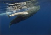 Flip Nicklin - Sperm Whale mother and albino baby, swimming underwater, Portugal