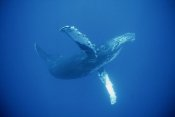 Flip Nicklin - Humpback Whale friendly, Maui, Hawaii