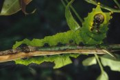 Mark Moffett - Caterpillar on branch, Tam Dao National Park, Vietnam