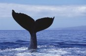 Flip Nicklin - Humpback Whale tail lob, Maui, Hawaii