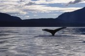 Flip Nicklin - Humpback Whale tail at sunset, Southeast Alaska