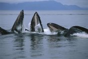Flip Nicklin - Humpback Whale pod gulp feeding on herring school, southeast Alaska