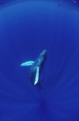 Flip Nicklin - Humpback Whale calf watched by mother, Hawaii