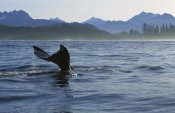Flip Nicklin - Gray Whale tail, Clayoquot Sound, Vancouver Island, Canada