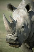 San Diego Zoo - White Rhinoceros portrait, native to Africa
