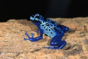 San Diego Zoo - Blue Poison Dart Frog, very tiny poisonous frog, native to South America