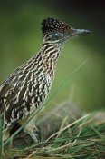 San Diego Zoo - Greater Roadrunner portrait, native to arid southern United States