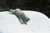 San Diego Zoo - Polar Bear sliding down snow bank, native to Canada