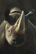San Diego Zoo - Black Rhinoceros portrait, native to Africa