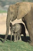 San Diego Zoo - African Elephant mother and calf, native to Africa