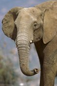 San Diego Zoo - African Elephant portrait, native to Africa